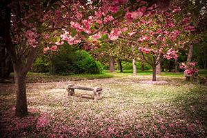 Bild Bank unter Bäumen mit Kirschblüten